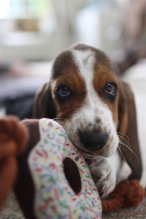 reasons basset hounds   worst indoor dog breeds