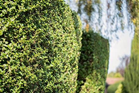 Pflanzzeit Kirschlorbeer Hecke by Kirschlorbeer Hecke Pflanzen