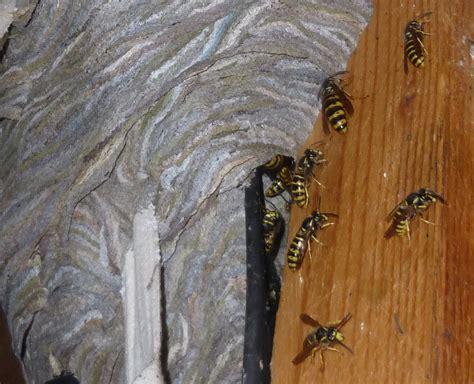 wespen und hornissen bund naturschutz  bayern ev