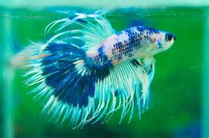 Beautiful Blue Betta Fish