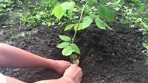 Quand Planter Lavande Dans Jardin : planter un framboisier plantation d 39 arbuste fruitier un framboisier dans son jardin youtube ~ Dode.kayakingforconservation.com Idées de Décoration