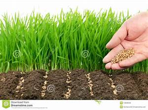 Wheat Seeds And Their Plant Stock Photo