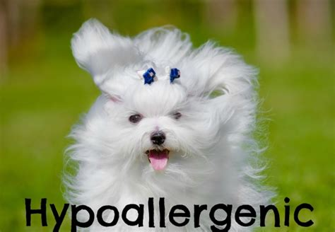 hypoallergenic dogs do not shed hypoallergenic dogs that dont shed breeds picture