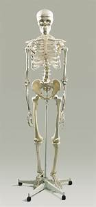 Facts About The Skeletal System