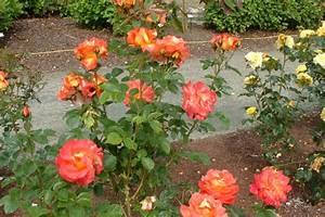 Comment Tailler Les Rosiers : quand et comment tailler les rosiers ~ Nature-et-papiers.com Idées de Décoration
