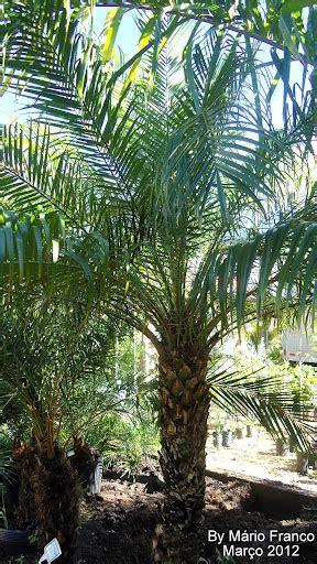 Meu Cantinho Verde: PALMEIRA-FENIX - ( Phoenix roebelinii )