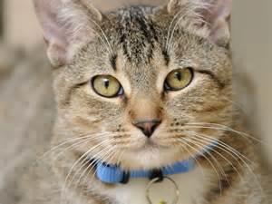 cat liver failure symptoms symptoms of liver disease in cats petfinder
