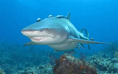 lemon syari lemon shark sharks