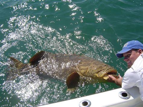 grouper goliath fishing charters