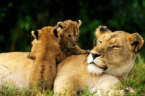 Lion cubs on mother. | Serengeti | Pinterest