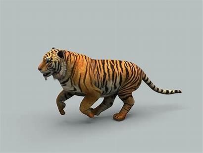 Tiger Models Wildlife
