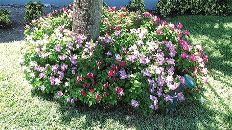 cural impatance of rosy periwinkle periwinkle friendly plant the guardian nigeria news nigeria and world newssaturday
