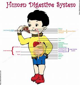 Stomach Diagram For Kids