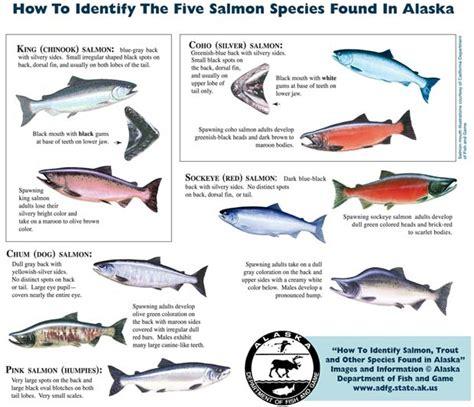 wednesday fish facts  salmon  fish   love