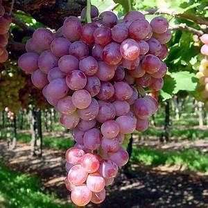 Achat Pied De Vigne Raisin De Table : vitis 39 italia rubi 39 vente vigne de table italie gros raisin rose ~ Nature-et-papiers.com Idées de Décoration