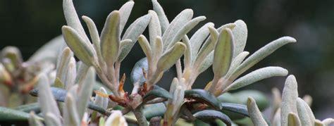 Wann Kann Rhododendron Schneiden by Rhododendron Schneiden Wie Und Wann St 246 Ckmann