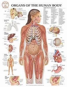 Female Human Anatomy Organs Female Human Body Diagram