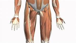 Muscles Of The Thigh And Gluteal Region - Part 2