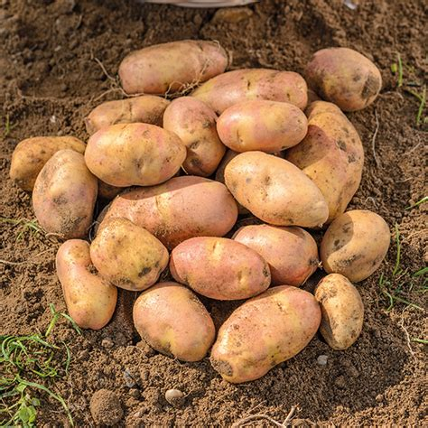 what are seed potatoes seed potato inca bella d t brown seed potatoes