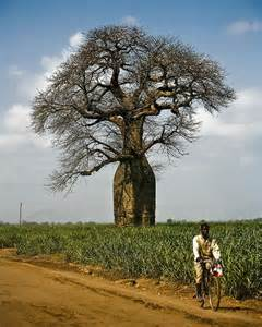 African Baobab Tree Fruit
