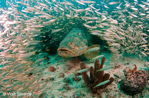 grouper goliath sea story atlantic goliaths facts comeback success habitat florida marine species meeting fast commercial fsu updated conservation creatures