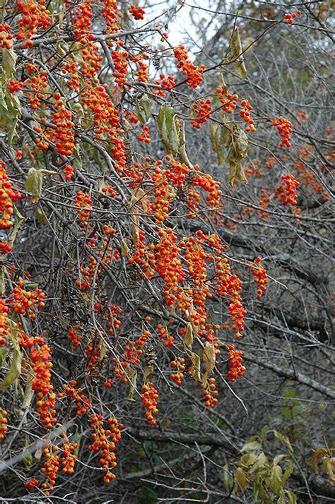 bittersweet plant american bittersweet celastrus scandens in toronto orangeville brtom vaughan caledon