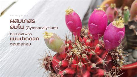วิธีผสมเกสร ยิมโน แคคตัส (Gymnocalycium) แบบปาดดอก ตอนดอกหุบ ให้มีเมล็ด ติดฝัก - Mini3Garden