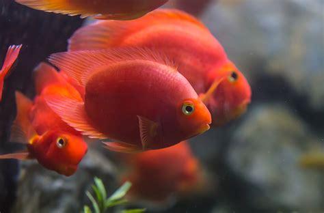 blood parrot fish cichlid san diego zoo animals plants