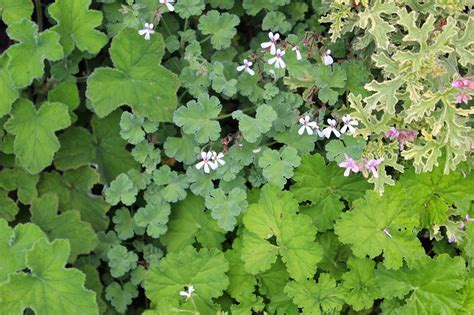 scented geraniums florez nursery scented geraniums
