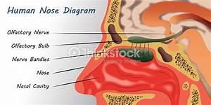 Human Nose Diagram Stock Vector