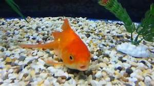 What Is Wrong With My Goldfish
