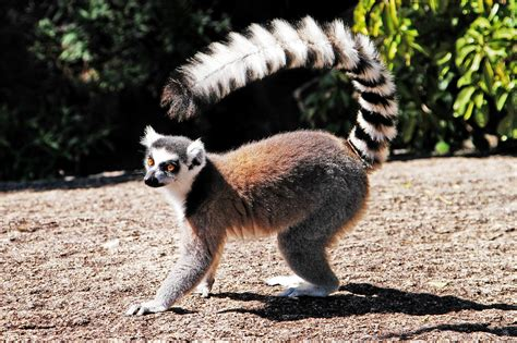 ring tailed lemur lemur catta isalo national park