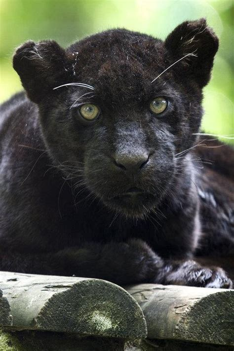 black panthers phone number pin black panther cub image only on