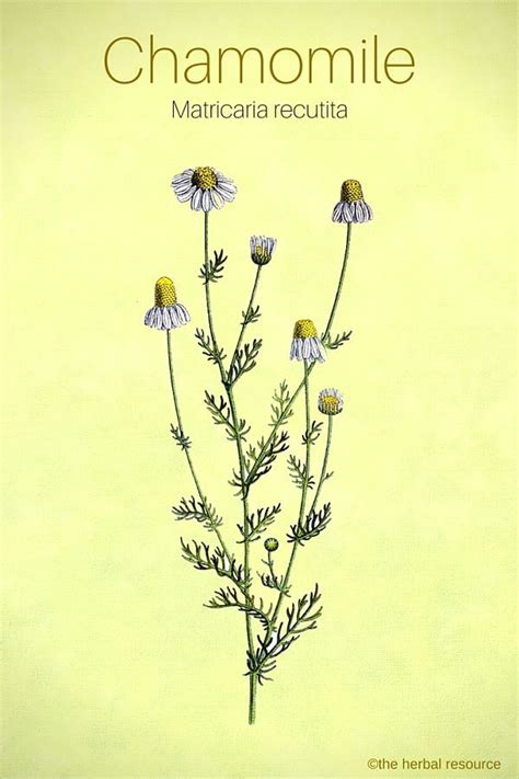 herb tattoo ideas  pinterest rosemary herb