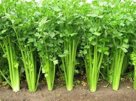 veggies   grow  scraps plant instructions