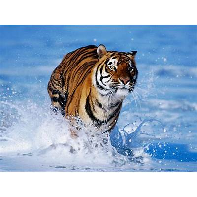 wallpapers: Bengal Tiger Wallpapers