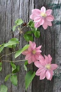 Pink clematis against a weathered fence | Country Life ...