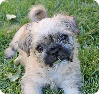 Pretzel Adopted Puppy La Haheights Ca Pug