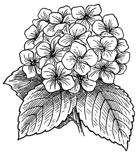 Filehydrangea (psf)png  Wikimedia Commons