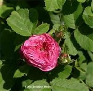 Alte Rosensorten Stark Duftend : rosensorten duftrosen de de la grifferaie de ~ Michelbontemps.com Haus und Dekorationen