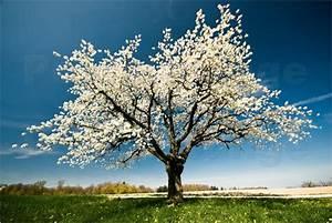 Rosa Blühender Baum Im Frühling : peter wey bl hender baum im fr hling poster online ~ Lizthompson.info Haus und Dekorationen