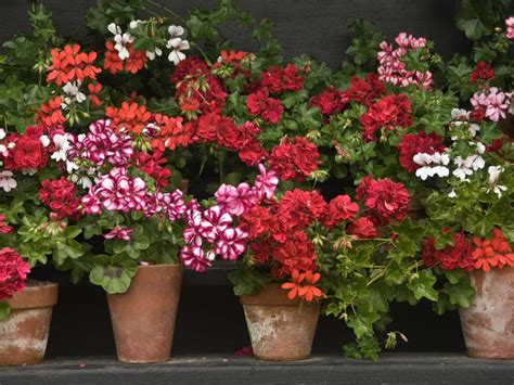 planting geraniums in pots what is a geranium diy