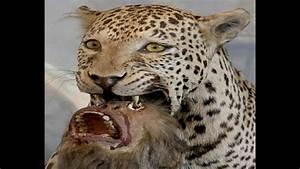 Jaguar - The Big Cat of Americas!!! - YouTube  Jaguar