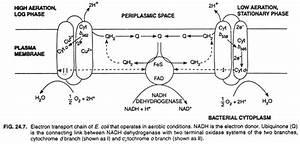 Oxidative Phosphorylation  With Diagram