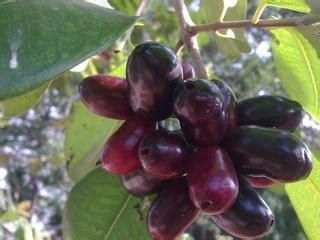 buah buahan indonesia mulai dilupakan mata dunia