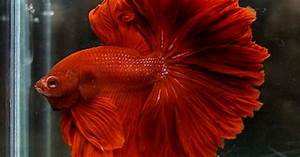 Red rosetail | Bettas | Pinterest | Red