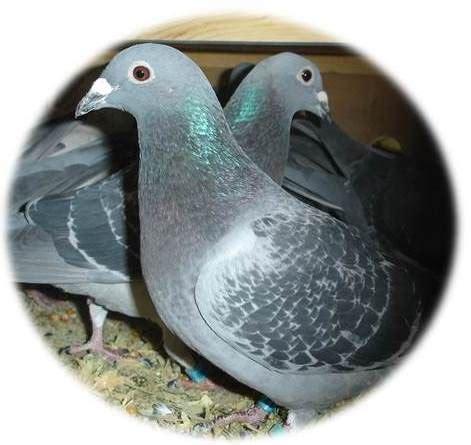 オウム病(psittacosis、parrot fever)とは、クラミジアの一種である、オウム病クラミジア(chlamydophila psittaci あるいはchlamydophilia abortus)の感染によって生ずる人獣共通感染症。 オウム病について