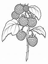 Coloring Raspberries Raspberry Fruit Printable Drawing Fruits Berries Sheets Supercoloring Colouring Pattern Super Drawings Botanical Three Embroidery Dot sketch template