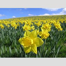 Daffodil Field  A Field Of Wild Daffodils Near Constantine … Flickr