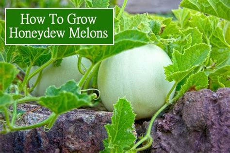 how to grow cantaloupe how to grow honeydew melons gardening homestead lifestyle pinterest how to grow